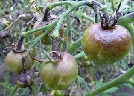 Фітофтора на томатах