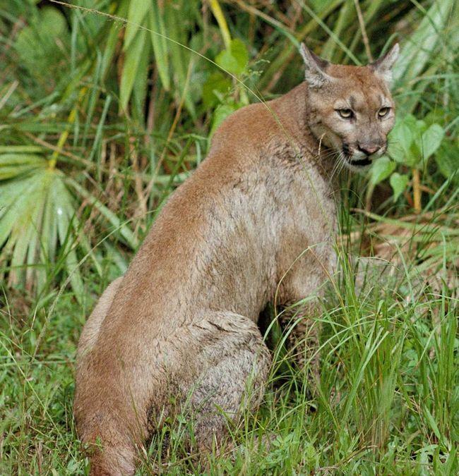 Флоридська пума (Puma concolor coryi).