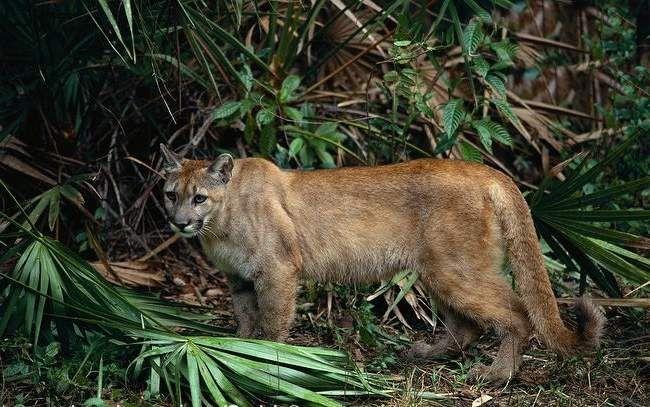 Гірський лев веде переважно одиночний спосіб життя, сходячись зі своїми одноплемінниками лише в період сезону розмноження.