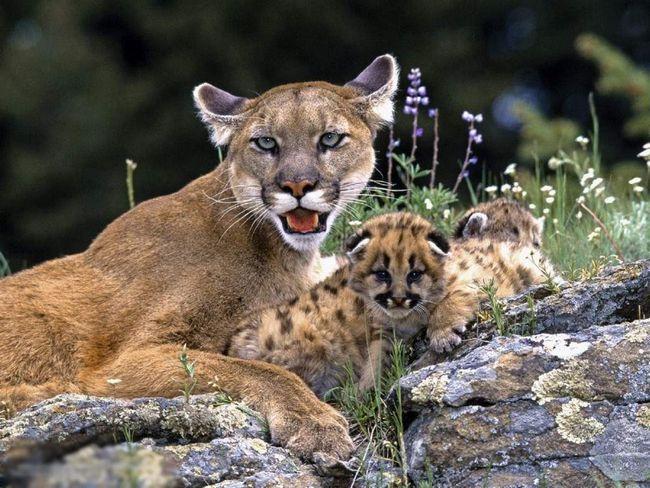 Приблизно через місяць в супроводі матері кошенята перший раз виходять з лігва.