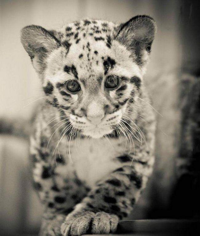 Малюк на ім`я Мауглі народився в зоопарку Флориди.