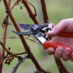 Формування і обрізка винограду