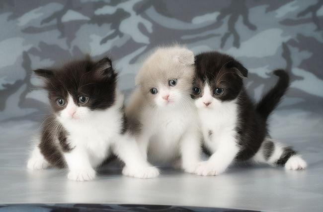 Фото кошенят скоттиш фолд