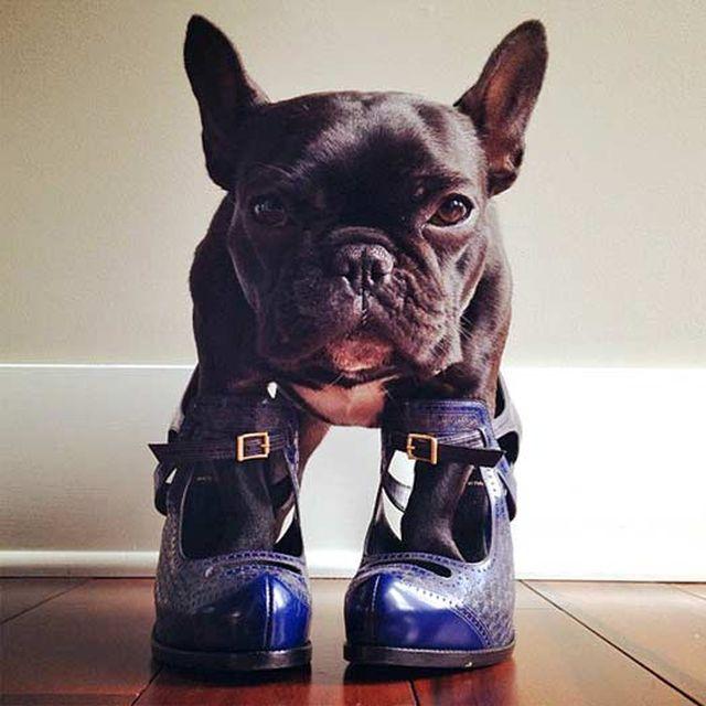 Собака запросто стає на каблуки