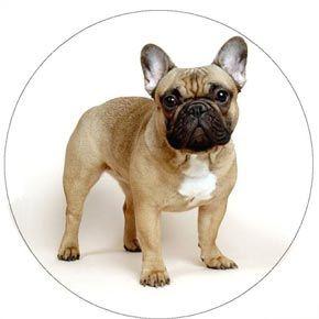 Французький бульдог: опис характеру породи, поради з виховання і догляду.