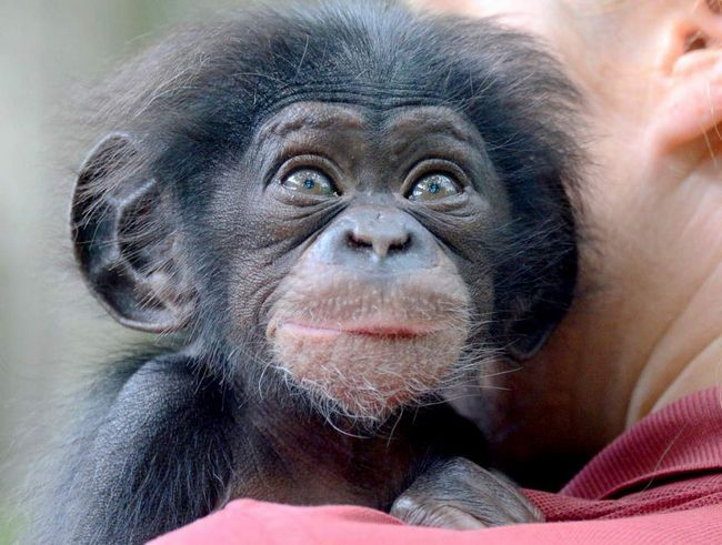 Шимпанзе - кулінар.