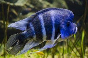 Фронтоз: акваріумна рибка