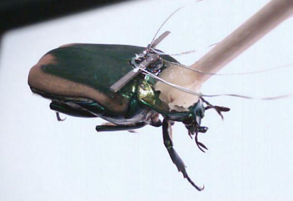 Вчені отримали енергію від тел жуків-кіборгів