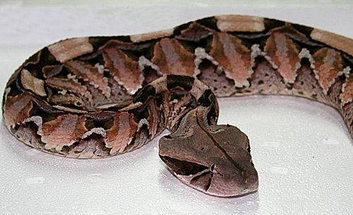 Габонская гадюка - одна з найбільш отруйних змій в світі