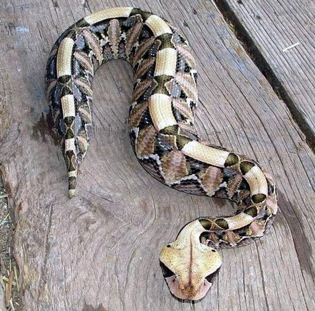 У габонской гадюки незвичайні забарвлення, який допомагає змії маскуватися.
