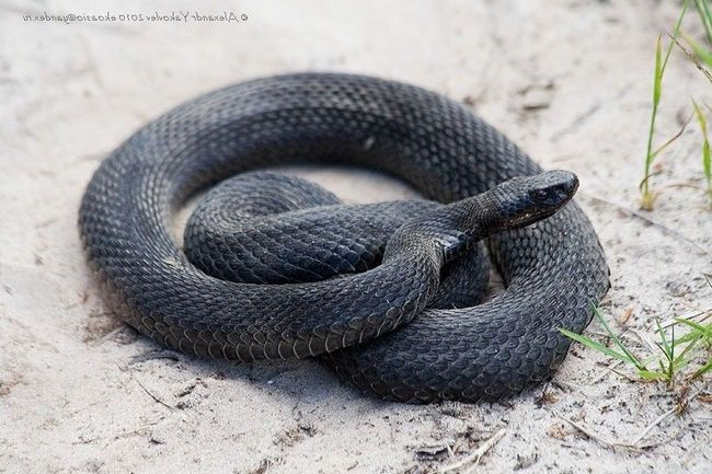 Гадюка може бути насичене-чорного кольору, або мати невеликий світлий орнамент по спині