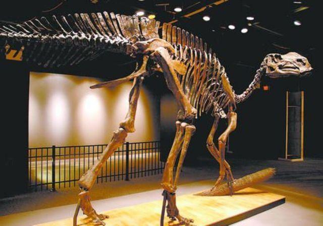 Скелет гадрозавров.