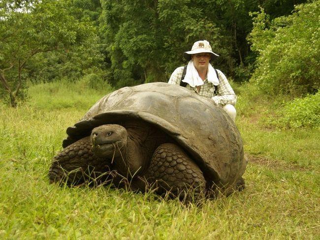 Галапагоські черепахи абсолютно безпечні для людей, які, втім, цим і користувалися, ніж мало не привели до вимирання цих черепах.