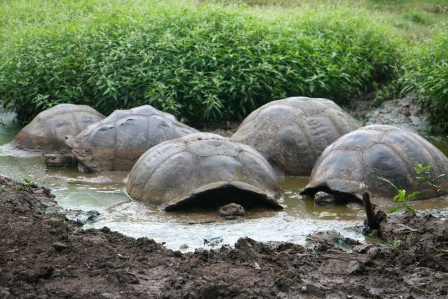Майже як наші поросята, слонові черепахи люблять поніжитися в рідкого бруду. І роблять це чисто з гігієнічних міркувань. Як і прості свині черепахи так позбавляються від паразитів.