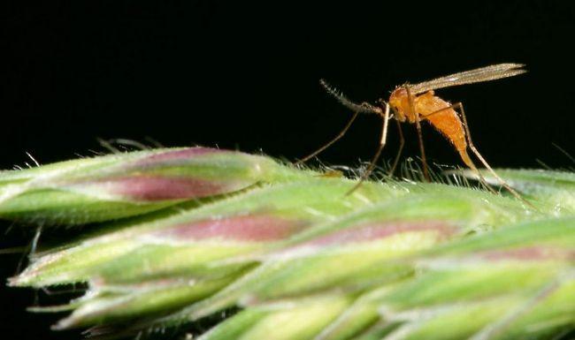 Галиця (Cecidomyiidae).