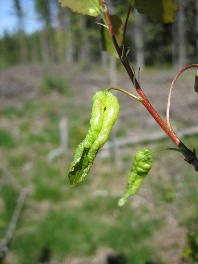 Галлици - шкідники рослин.