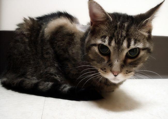 Гастрит у кішок: симптоми і лікування