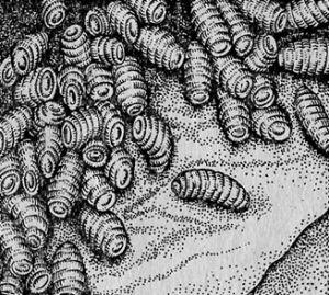 Мал. 3. Поразка шлунка коня личинками овода Gastrophilus spp. (За Д. Антипин).