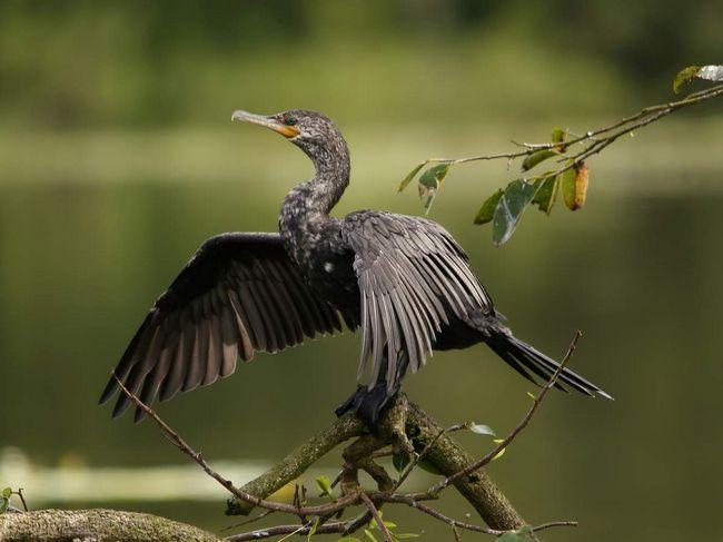 Баклани - родичі пеліканів.