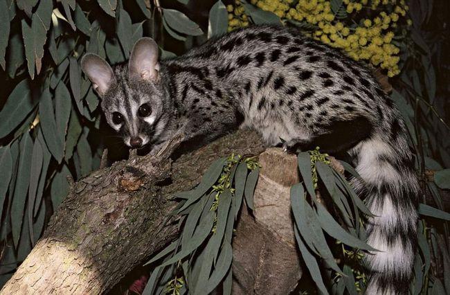 Генетів звичайна: що за звір? Фото генети