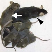Генетики вивели мишей з двома батьками
