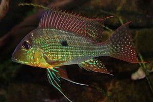 Геофагус - види акваріумних землеедов