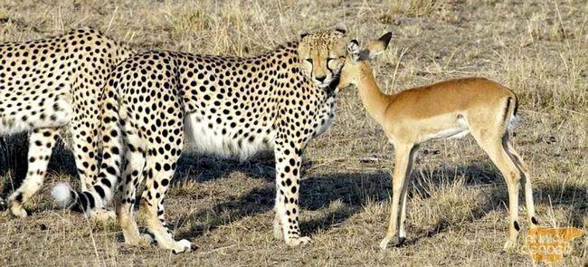 Гепард полює, коли голодний