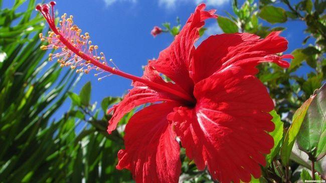 Гібіскус (китайська троянда) розмноження і вирощування