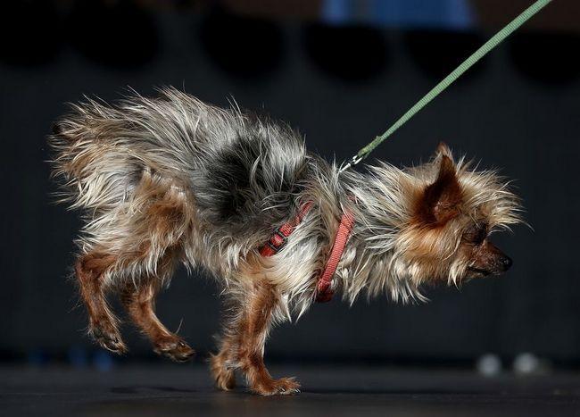 Гібрид бигля, боксера і бассета переміг в конкурсі на найпотворнішого собаку