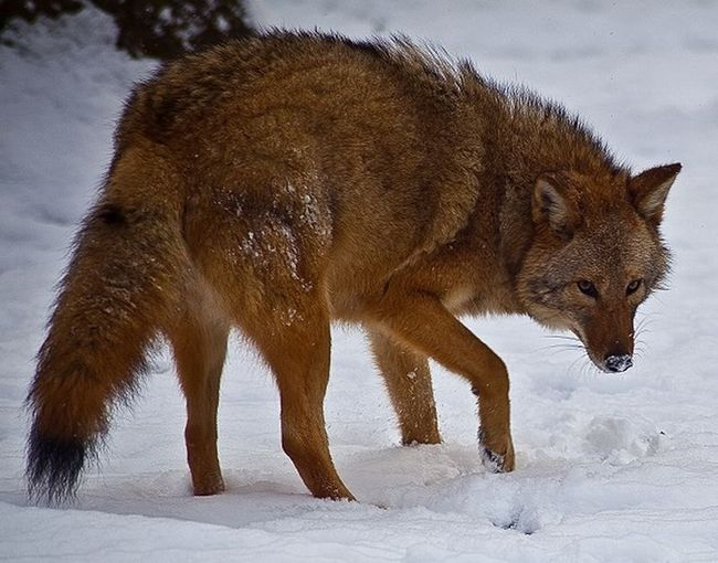 Гібриди вовка, койота і собаки захопили східну частину сша