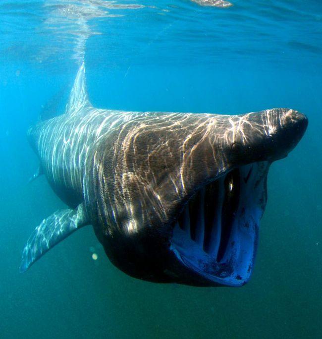 Гігантська акула (Cetorhinus maximus).