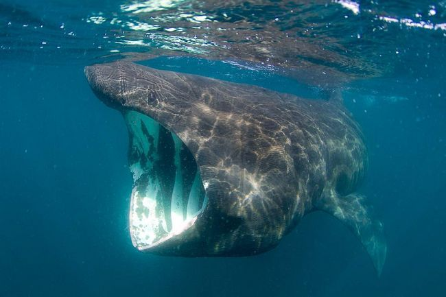 Паща акули нагадує гігантську трубу, в яку засмоктує все по дорозі.