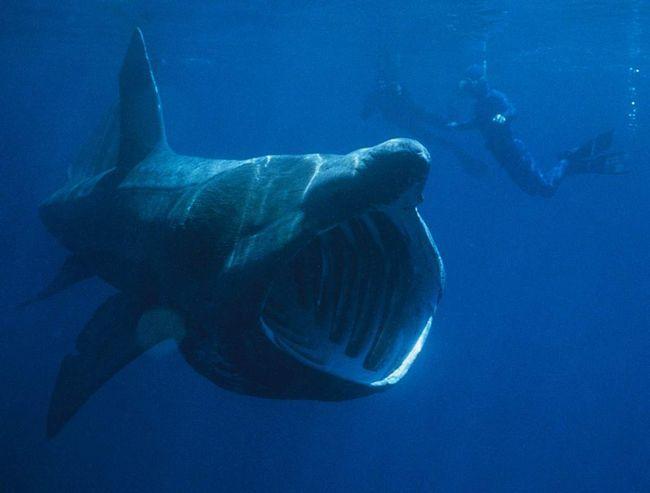 Відчайдушний дайвер, що не злякалась зустрічі з чудовиськом. Можливо, тому що ця акула харчується планктоном.