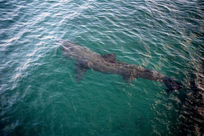 Люди ведуть на гігантських акул полювання через жирної печінки.