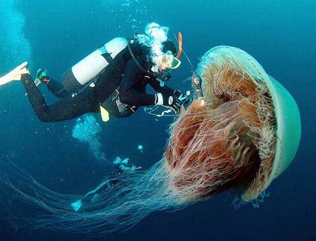 Гігантська медуза Номура біля берегів США
