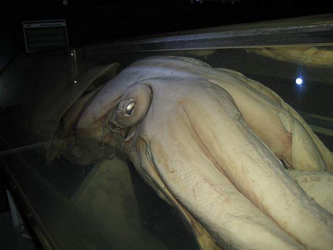 Перша зустріч з гігантським молюскам, зафіксована на плівку, сталася в 2006 р
