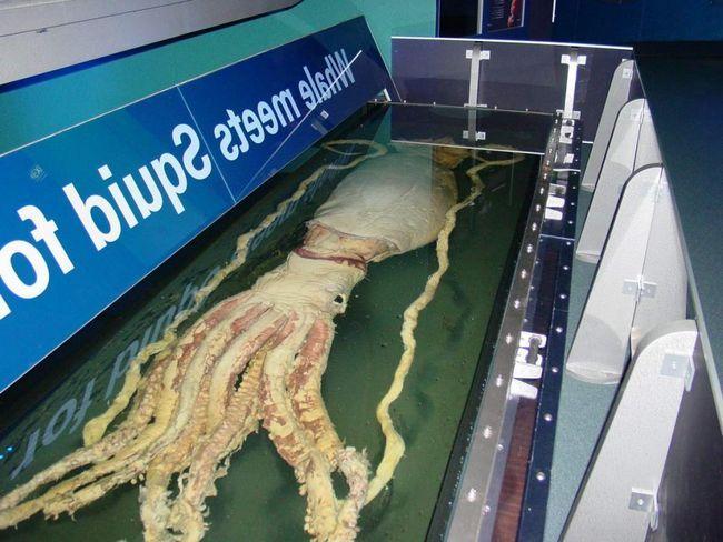 Від одного виду гігантського кальмара захоплює дух!