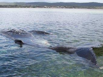 В Австралії підірвали хворого кита