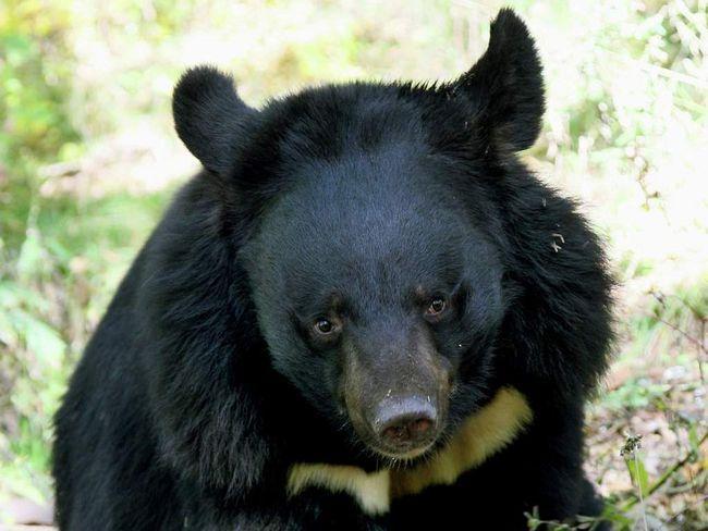 Ведмідь напав на вагітну жінку.