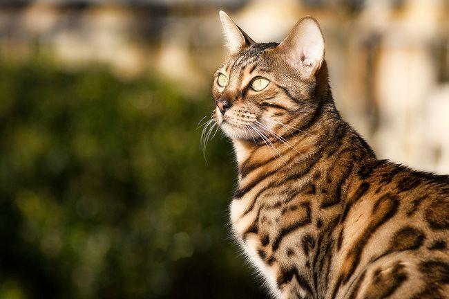 Гінгівіт: симптоми і лікування у кішок