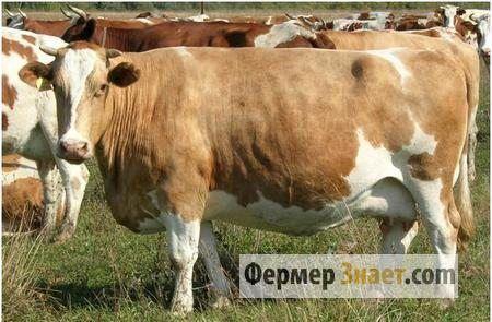 Гіподерматоз врх: чим для корів страшні підшкірні оводи