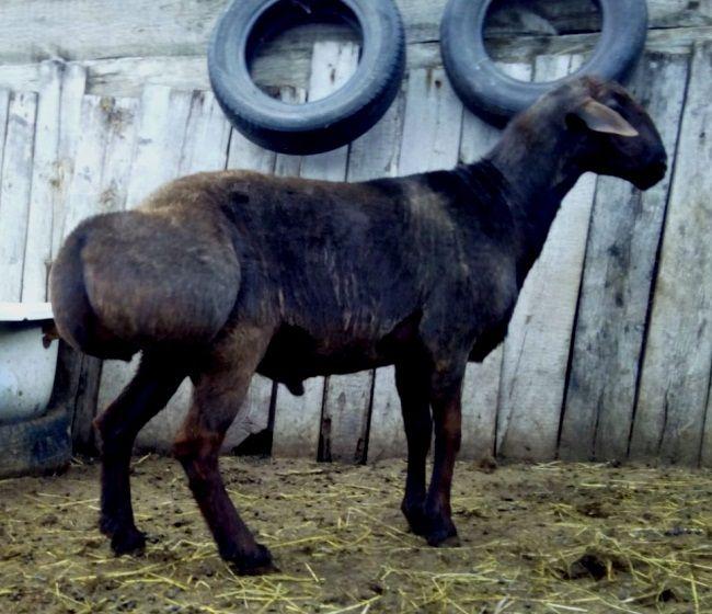 Гиссарськая порода овець