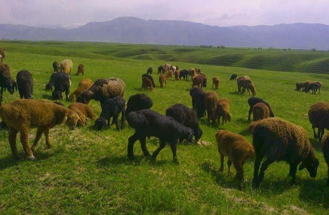 Зміст гиссарских овець