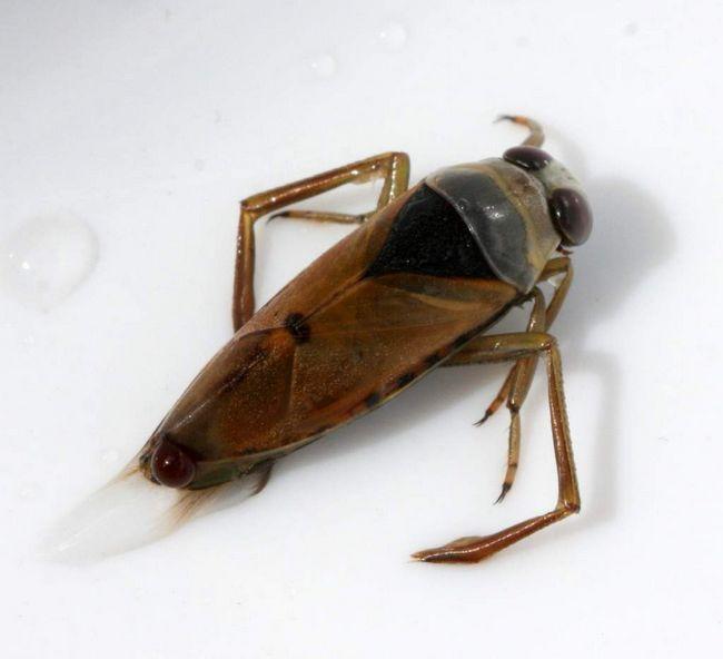 Гладиш звичайний (Notonecta glauca).