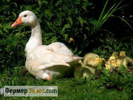 Головне про зміст і розведення домашніх гусей