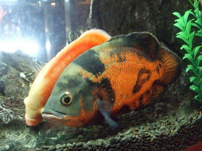 Астронотуси - риби, яких можна погладити.