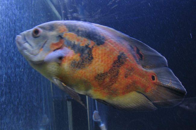 Астронотусов можна утримувати в акваріумах.