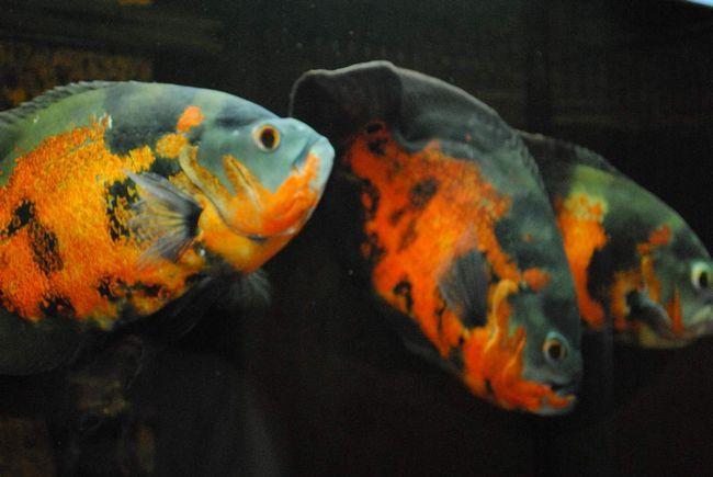 Астронотуси в акваріумі.