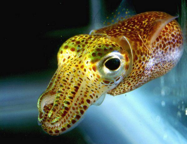 Кальмар Octopoteuthis deletron (фото авторів дослідження).