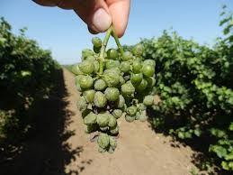 Гниль винограду: захист і профілактика
